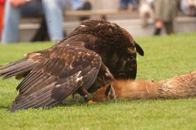 Adlerflugschau (17).jpg